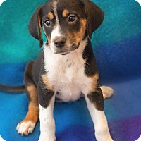 Adopt A Pet :: KiKi - Millersville, MD