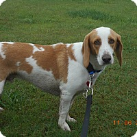 Basset Hound/Beagle Mix Dog for adoption in haslet, Texas - henry
