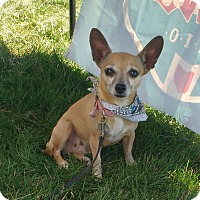 Chihuahua Dog for adoption in Columbus, Ohio - Kay