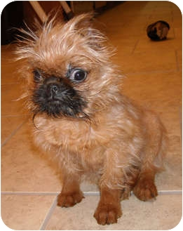 SPROUT in KY.   Adopted Puppy   Linden, VA   Brussels Griffon Adopt A Brussels Griffon Puppy