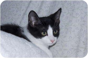 Domestic Shorthair Kitten for adoption in New Egypt, New Jersey - Diamond