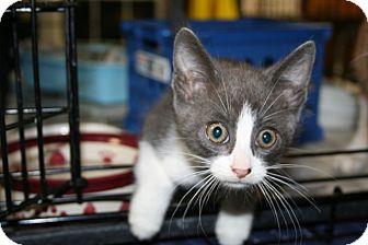 American Shorthair Kitten for adoption in Foster, Rhode Island - Elvis