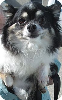 Chihuahua Dog for adoption in Forked River, New Jersey - Cutie