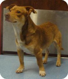Pembroke Welsh Corgi Mix Dog for adoption in Gainesville, Florida - Diego