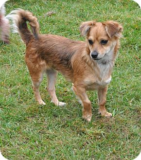 Chihuahua/Spaniel (Unknown Type) Mix Puppy for adoption in Tumwater, Washington - Coco