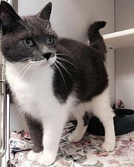 Domestic Shorthair Cat for adoption in Richboro, Pennsylvania - Sara Bareilles