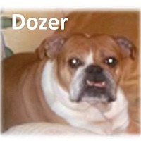 Adopt A Pet :: Dozer - Decatur, IL
