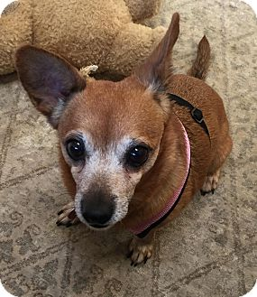 Chihuahua Mix Dog for adoption in Frankfort, Illinois - Gladys