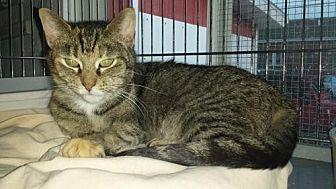 Domestic Shorthair Cat for adoption in Iroquois, Illinois - Sassafras