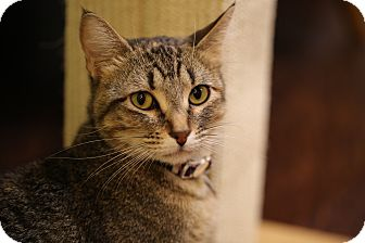 Domestic Shorthair Cat for adoption in The Colony, Texas - Spella Ella