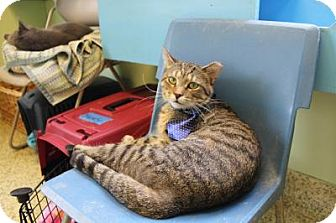 Domestic Shorthair Cat for adoption in Indianapolis, Indiana - Bretagne