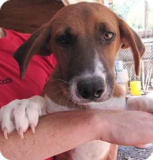 Hound (Unknown Type) Mix Dog for adoption in Bay Springs, Mississippi - S1001-K  Gabby