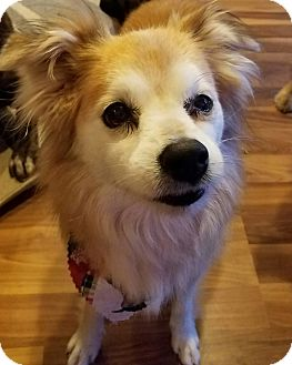 Pomeranian/Sheltie, Shetland Sheepdog Mix Dog for adoption in Minneapolis, Minnesota - Missy