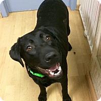 Adopt A Pet :: Sadie Mae in CT - Manchester, CT