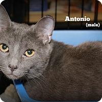 Adopt A Pet :: Antonio - Springfield, PA
