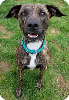 Plott Hound Mix Dog for adoption in Livonia, Michigan - Shylo
