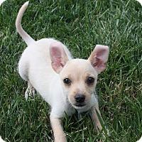 Adopt A Pet :: Boo Boo - Henderson, NV