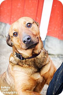 Rottweiler/Shepherd (Unknown Type) Mix Dog for adoption in Carey, Ohio - HOPE (Adoption pending)