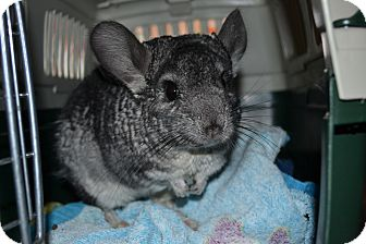 Chinchilla for adoption in Patchogue, New York - Milo