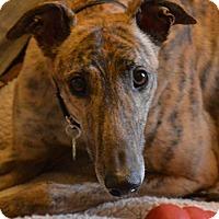 Adopt A Pet :: Chip - Seattle, WA