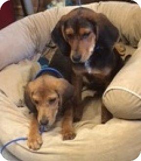 Black and Tan Coonhound/Beagle Mix Puppy for adoption in Lexington, Massachusetts - Reggie & Ranger