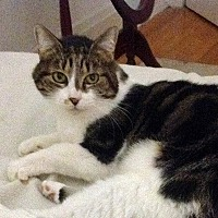 Domestic Shorthair Cat for adoption in Durham, North Carolina - Jazzy