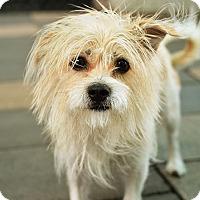 Adopt A Pet :: Veronica - New York, NY