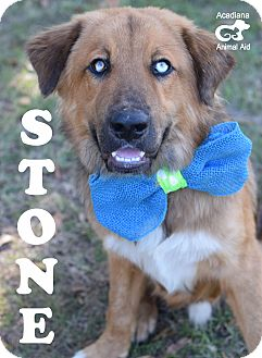 Leonberger/Australian Shepherd Mix Dog for adoption in Denver, Colorado - Stone