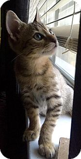 Domestic Shorthair Kitten for adoption in Flower Mound, Texas - Charlie