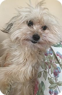 Yorkie, Yorkshire Terrier/Pomeranian Mix Dog for adoption in Hollywood, California - Lollie