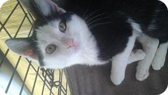 Domestic Shorthair Kitten for adoption in Ephrata, Pennsylvania - Scott