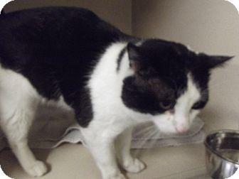 Domestic Shorthair Cat for adoption in Cheboygan, Michigan - BAXTER