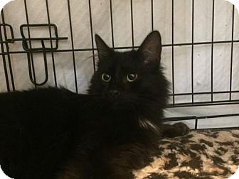 Maine Coon Cat for adoption in McKinney, Texas - Dory
