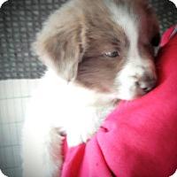 Adopt A Pet :: Amanda - Toms River, NJ