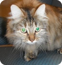 Domestic Longhair Cat for adoption in Jackson, Michigan - Abbey