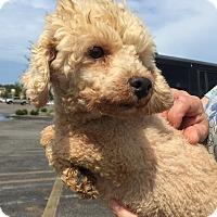 Adopt A Pet :: Pierre - Toy Poodle - St. Petersburg, FL
