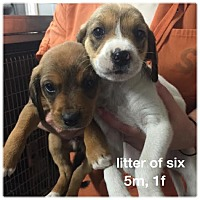 Adopt A Pet :: Beagle mix puppiesADOPTED! - Chicago, IL