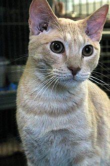 Domestic Shorthair Cat for adoption in Yukon, Oklahoma - Douglas