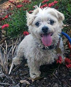 Maltese Mix Dog for adoption in Ventura, California - Pooky