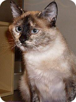 Siamese Cat for adoption in Buhl, Idaho - Myrna