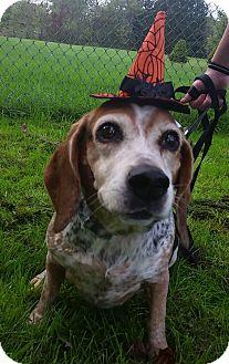Beagle Dog for adoption in East Sparta, Ohio - Vanna