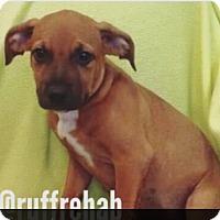 Adopt A Pet :: Chunky Puppy - Pompton Lakes, NJ
