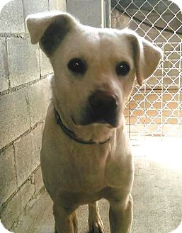 Labrador Retriever Mix Dog for adoption in Union Springs, Alabama - Loki