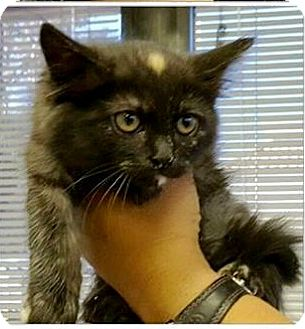 Burmese Kitten for adoption in Riverside, California - Anne