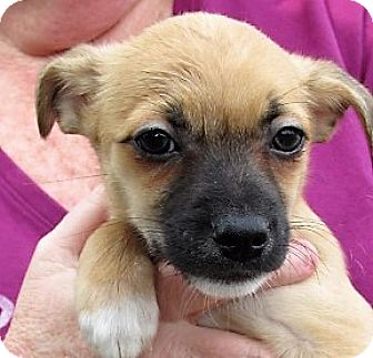 Chihuahua/Miniature Pinscher Mix Puppy for adoption in Germantown, Maryland - Lego
