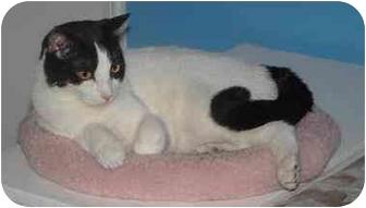 Domestic Shorthair Cat for adoption in Belton, Missouri - Rae Marie