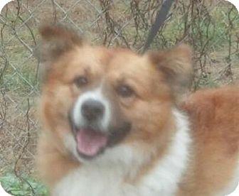 Sheltie, Shetland Sheepdog Mix Dog for adoption in Hagerstown, Maryland - Ringo