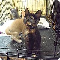 Adopt A Pet :: Sienna - Catasauqua, PA