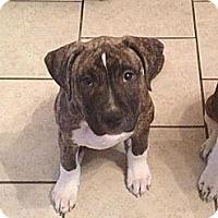 Adopt A Pet :: Shya - Roaring Spring, PA