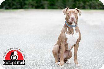 Labrador Retriever/American Bulldog Mix Dog for adoption in Jupiter, Florida - Chloe